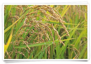 稲 9月も中ごろになると朝晩めっきり涼しくなってまいりました。 各地では毎... 岩手県産 ひと